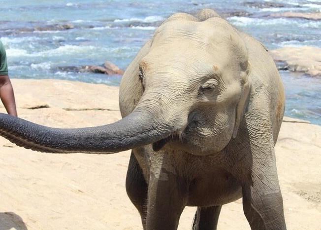 Elephants at Pinnavala Elephant Resort