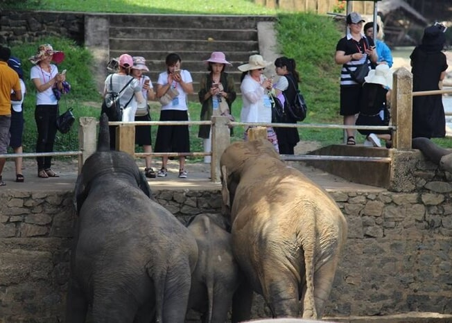 Elephants greeting tourists in Pinnawala