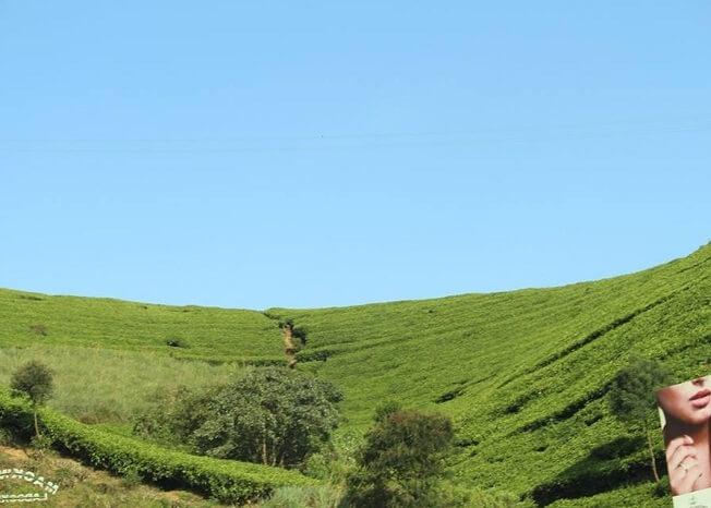 Beautiful view of tea plantations