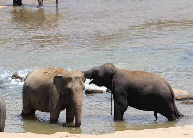 Elephants helping each other
