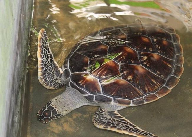 a rare turtle species in Sri Lanka