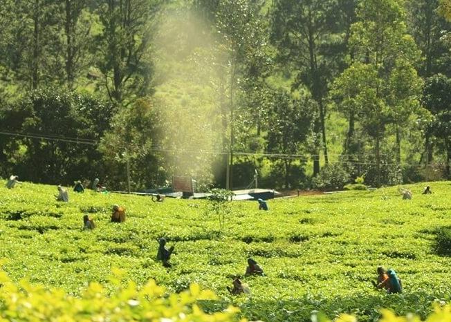 Picking Tea leaves in Sri Lanka