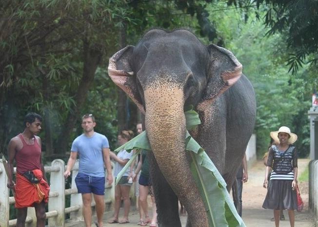 Crossing by elephants in Bentota