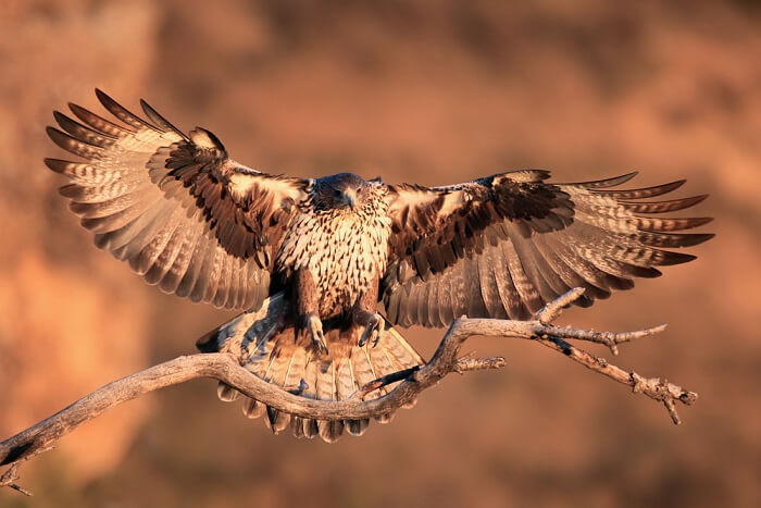spot Bonelli's eagle at gir