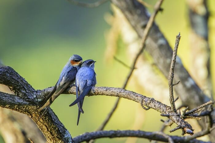 spot Crested Treeswift at gir