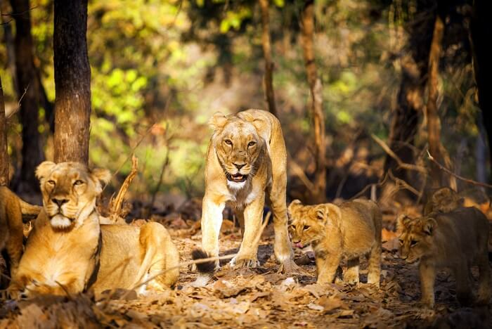 spot asiatic lions at gir national park