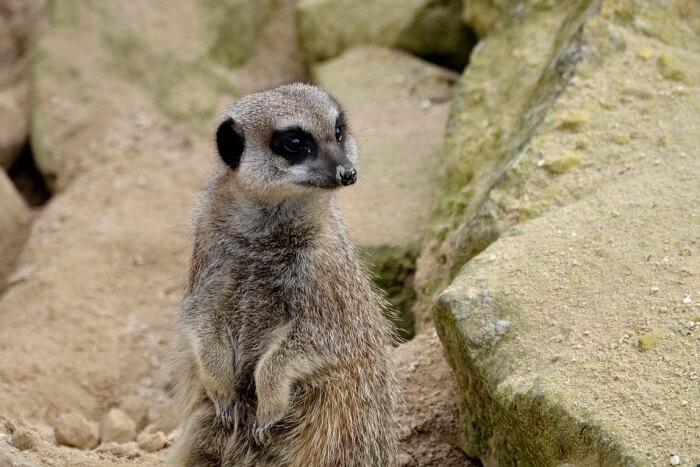 Fur Meerkat Wildlife Wild Nature Alert Animal