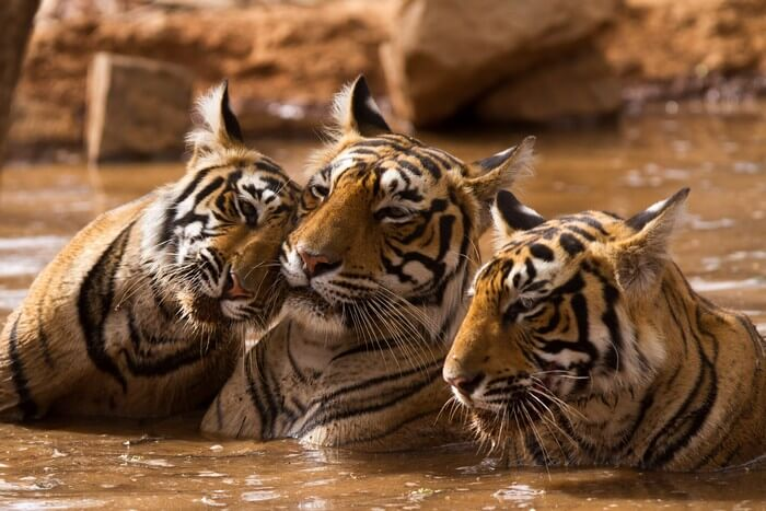 Tigers play in a pool at the Ranthambhore National Park