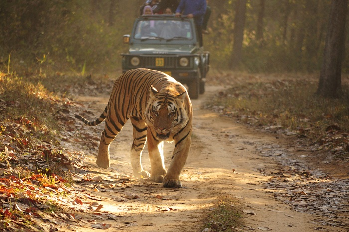Tourists spot a Royal Bengal Tiger during their jeep safari through the Kanha National Park