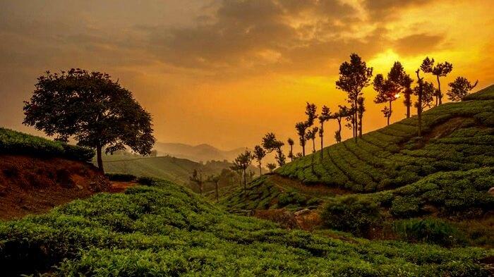 Plantations Munnar Kerala