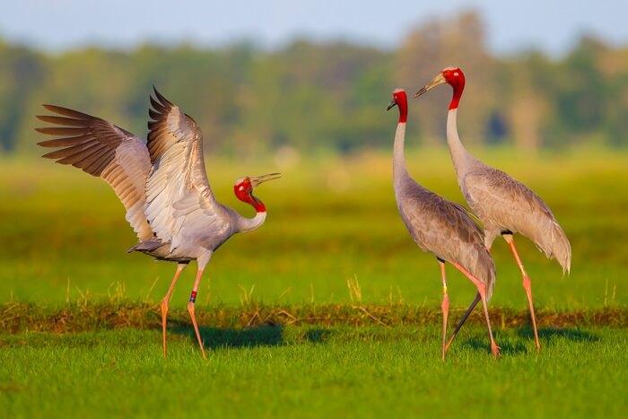 spot Sarus crane at gir