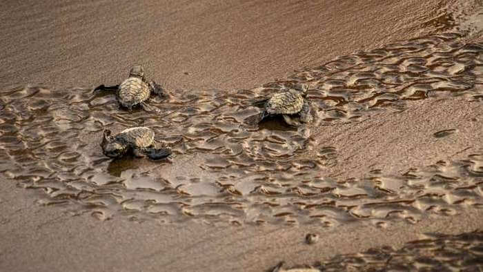 Turtles hatching eggs in Velas are major attraction during winters