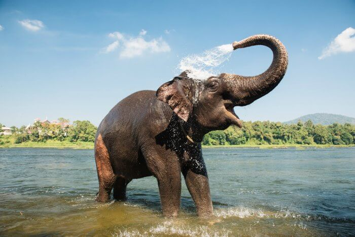 An elephant bathing in the Elephant Lake at Munnar