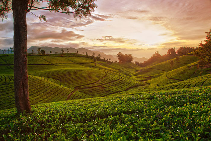Tea gardens at Coonoor, among the best honeymoon places in Tamil Nadu
