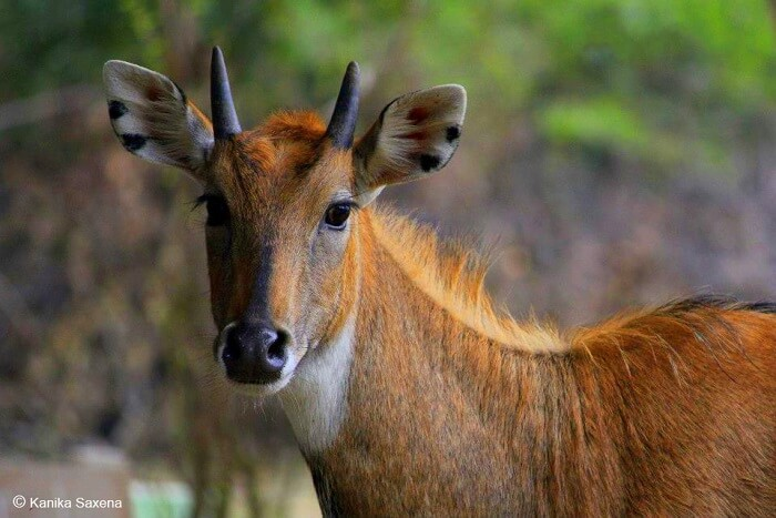 spot nilgai at gir national park