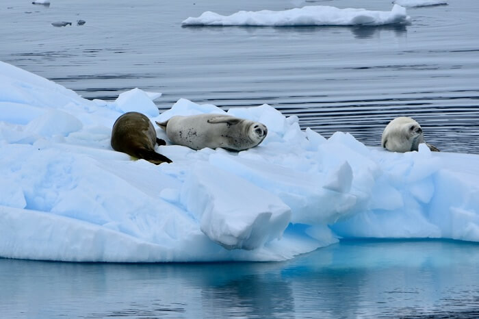 Seals lounging on ice in the Errera Channel in Antarctica