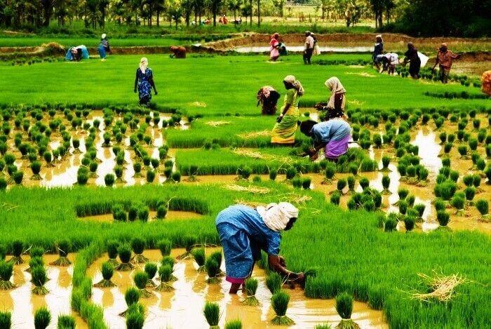 Paddy cultivation at Kumbalangi Integrated Tourism Village, Kerala
