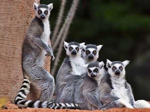 Northern sportive lemur, Madagascar