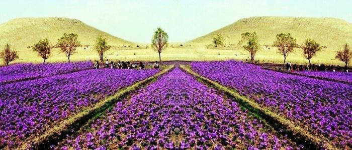 Pulwama - beauty of sprawling saffron fields in Kashmir