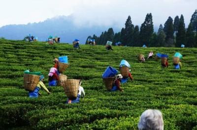 assam-tea-gardens