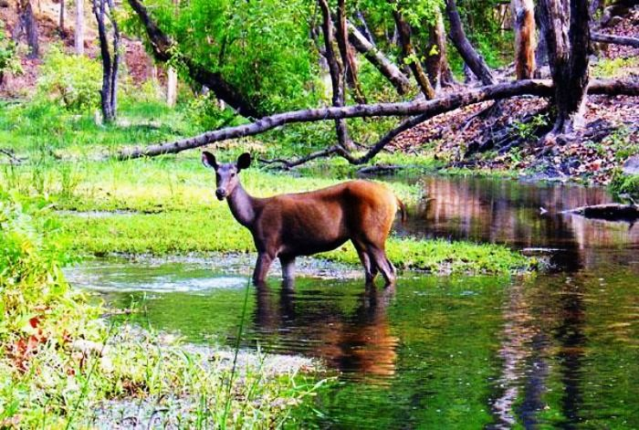 Deer at Bandhavgarh National Park, Madhya Pradesh