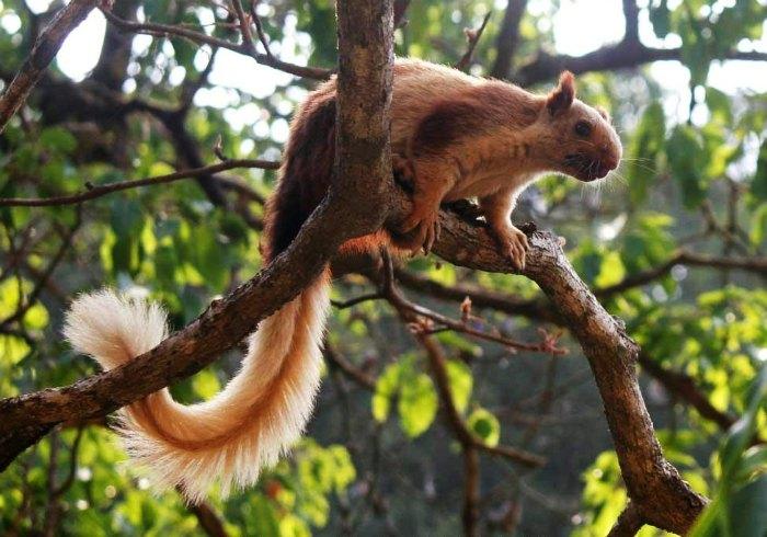 Squirrel at Bhimashankar Wildlife Sanctuary