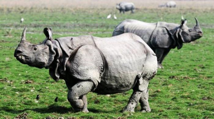 Capture Rhinos at Kaziranga National Park, Assam