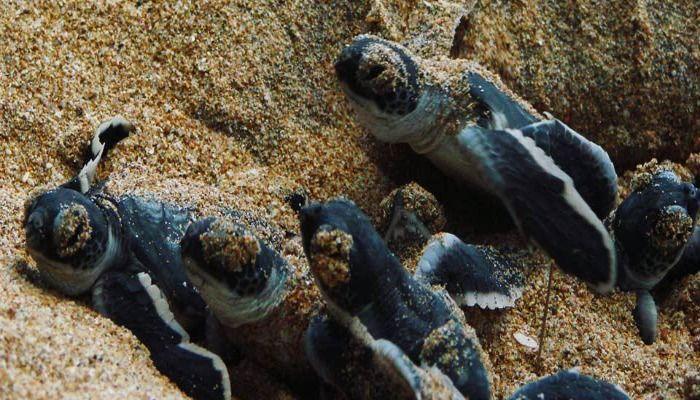 Five varieties of Sea Turtles found in Sri Lanka