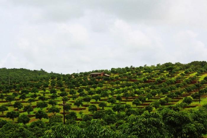 Alphanso mango plantations in Ratnagiri near Mumbai