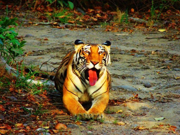 Spot a relaxing Tiger at Periyar National Park, Kerala