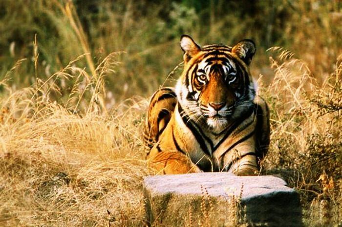 Capture tigers at Ranthambore National Park, Rajasthan