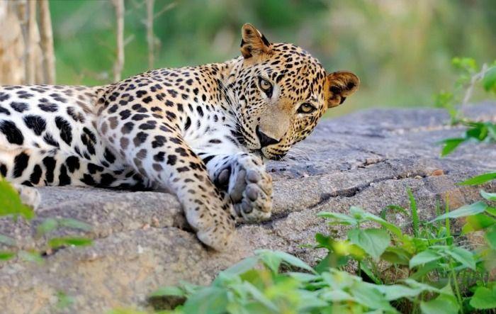 Sri Lankan Leopards at the Yala national park