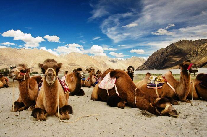 Bactrian Camels at Hunder in Ladakh