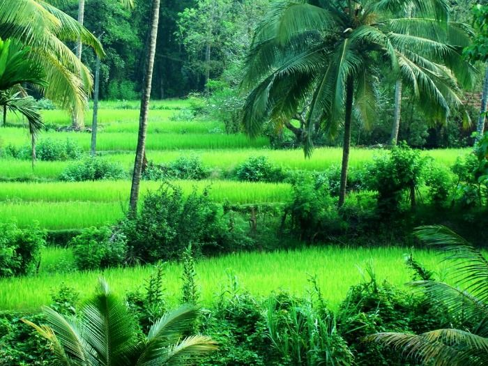 The verdant agricultural fields of Yana, Karnataka
