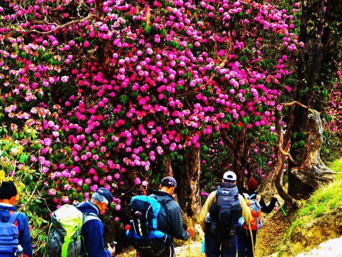 Rhododendrons on the Sandakphu Trek in West Bengal