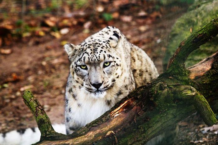 Snow Leopard seen in the Hemis National Park in Ladakh