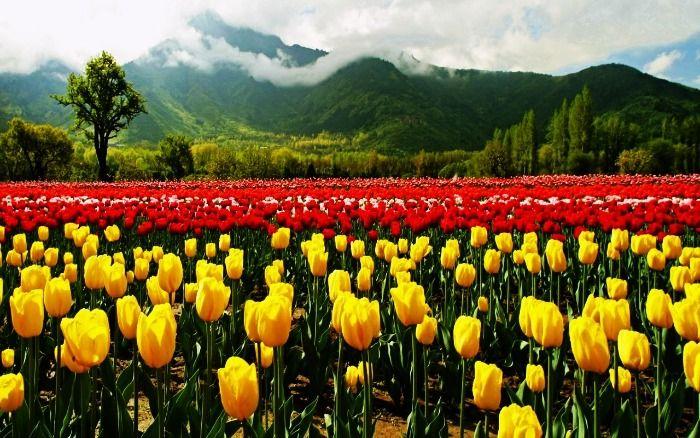 Flowers in the Tulip Garden in Kashmir