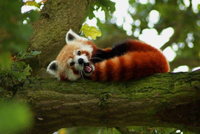 red panda in Himachal pradesh