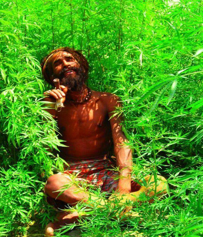 weed in himachal