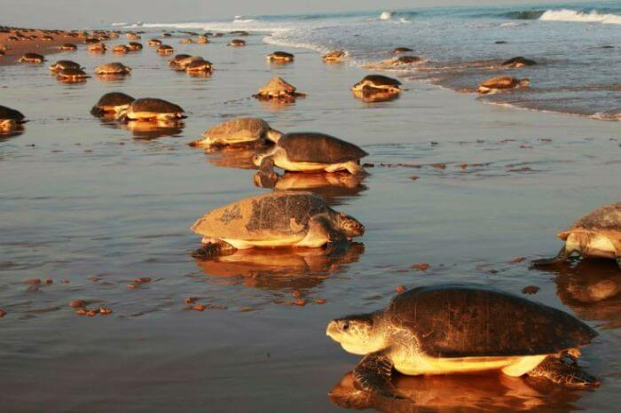 Turtles on the vanishing beach of India, Chandipur in Orissa