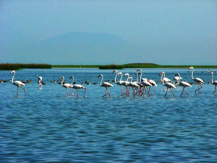 A flock of migratory birds in the Chilika Lake