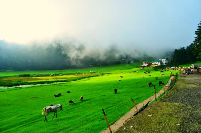 Horses and other animals grazing in the vast greens of Khajjar in Himachal