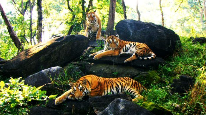 A family of tigers in Bannerghatta Wildlife Park