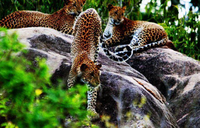 Head for an adventurous wild honeymoon to Yala National Park