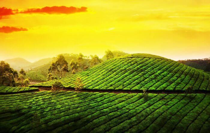 Lush green tea gardens at Blackberry Hills Retreat Spa, Munnar.
