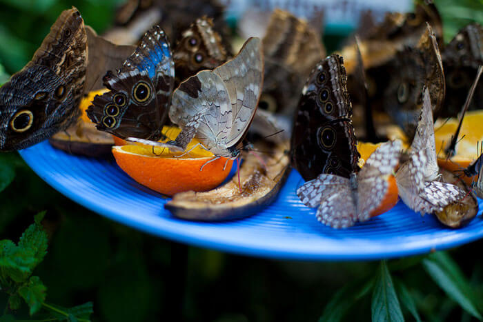 Butterflies at the Butterfly Conservatory of Goa