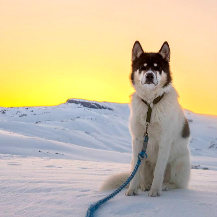 Husky standing in the sunset
