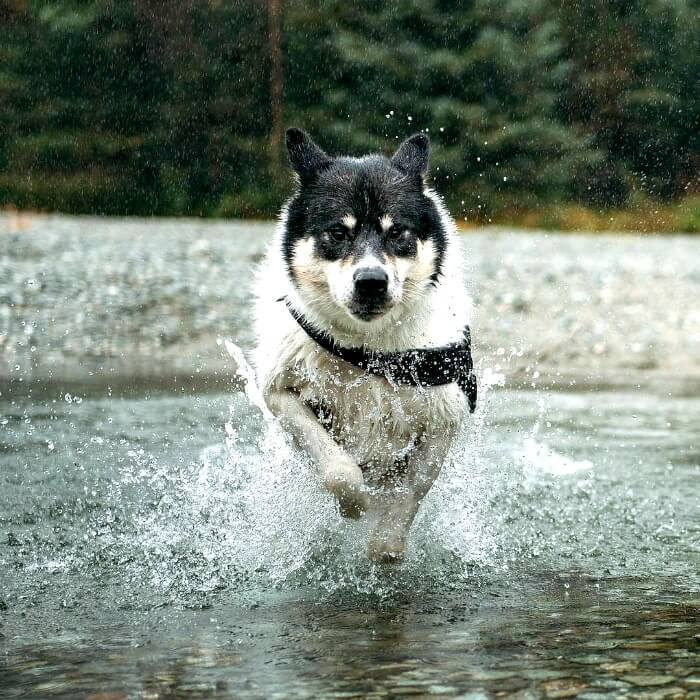Husky running through the water