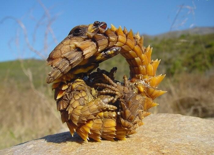 A native reptile at Socotra Island