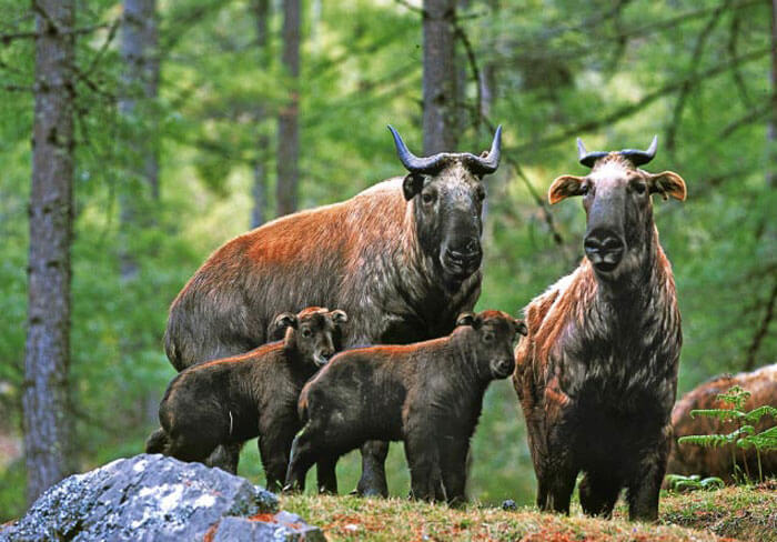 Family of Takin in Motithang Preserve during autumn season